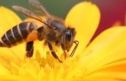 Chính phủ Mỹ mở chiến dịch cứu... côn trùng