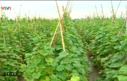 Giống cây trồng kém chất lượng tràn về nông thôn