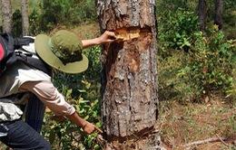 Lâm Đồng: Bắt đối tượng đầu độc rừng thông