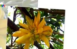 Phật thủ - Loại quả đẹp cho mâm ngũ quả Tết