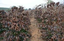 Quảng Trị: Hạn hán kéo dài, người trồng cà phê gặp khó khăn
