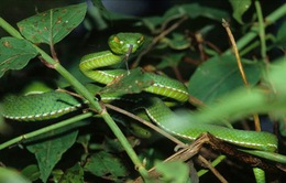 ĐBSCL: Số người bị rắn lục cắn gia tăng trong mùa mưa