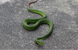 Thừa Thiên - Huế: Rắn lục đuôi đỏ xuất hiện tại các khu vực dân cư