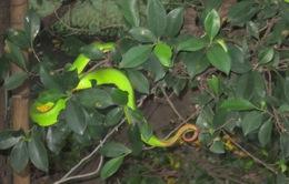 Rắn lục đuôi đỏ xuất hiện nhiều có thể do thời tiết