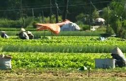 Giá rau khu vực Nam Trung Bộ ổn định trong mùa nắng nóng