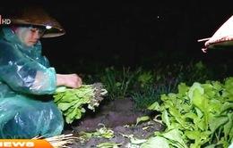 Hưng Yên: Người dân vùng rau vớt vát thu hoạch sau mưa lũ