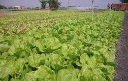 Sau 7 năm, diện tích trồng rau VietGap mới đạt 0,4%