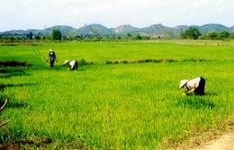 Phấn đấu bảo vệ 1 triệu ha lúa vụ Đông Xuân