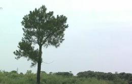 Rừng phòng hộ Đại Ninh, Lâm Đồng bị tàn phá nghiêm trọng