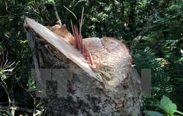 Lâm Đồng: Rừng phòng hộ Đại Ninh bị tàn phá nghiêm trọng