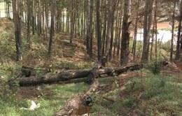 Lâm Đồng: Báo động tình trạng đầu độc rừng thông