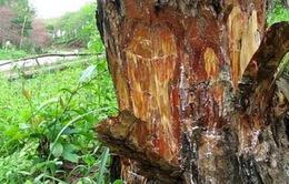 """Lâm Đồng: Rừng thông bị """"bức tử"""" bằng hóa chất"""