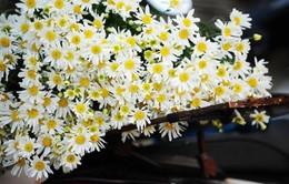 10 mẹo cắm hoa cúc họa mi tươi lâu, nước trong bình không thối