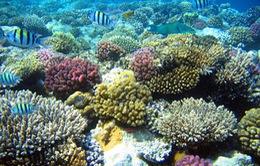 San hô có thể chết hàng loạt do El Nino