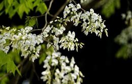 Hoa sưa trắng tinh khôi giữa mùa xuân Hà Nội