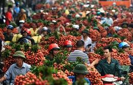 Thương lái Trung Quốc đột ngột ngừng thu mua, vải Lục Ngạn rớt giá