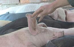 Campuchia bùng phát dịch lợn tai xanh