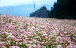 Hà Giang lần đầu tổ chức Lễ hội Hoa tam giác mạch vào tháng 11