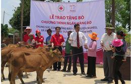 Prudential Việt Nam tặng 150 con bò cho các hộ gia đình khó khăn