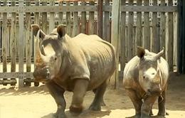 Hơn 1.200 cá thể tê giác bị giết hại trong năm 2014