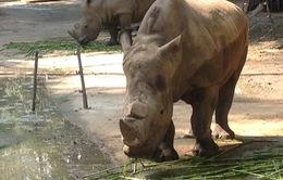 Tê giác trong Thảo Cầm Viên TP.HCM bị mài sừng?