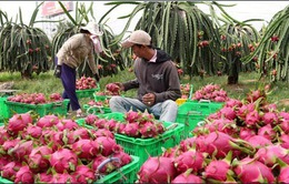 Nông dân Bình Thuận không 'mặn mà'  trồng thanh long VietGAP