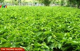 Nông dân Tây Ninh ồ ạt bỏ cao su trồng thiên lý