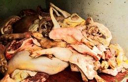 Tiêu huỷ gần 1,5 tấn thịt lợn đang phân huỷ