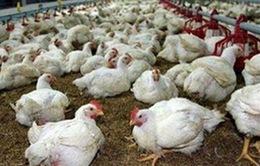 Đồng Nai: Giá gà công nghiệp tăng trở lại
