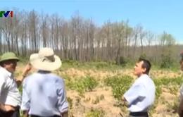 Quảng Trị: Hơn 700ha rừng thông không còn khả năng phục hồi
