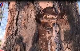 Hàng trăm cây thông ở Lâm Đồng bị đầu độc bằng hóa chất