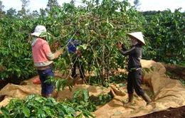 Đăk Lăk: Thiếu nhân công mùa thu hoạch cà phê