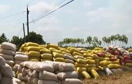 Giá lúa giảm mạnh ngay trong đợt tạm trữ