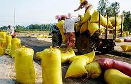 ĐBSCL: Mua tạm trữ 760.000 tấn gạo