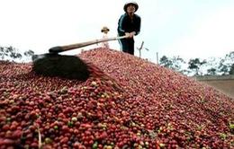 Tích trữ cà phê, nhiều doanh nghiệp lỗ nặng