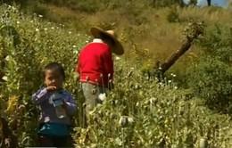 Myanmar: Nông dân bỏ cây thuốc phiện chuyển sang trồng cà phê