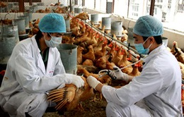 Người chăn nuôi thờ ơ với phòng cúm gia cầm