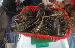 Khánh Hòa: Giá tôm hùm xuống thấp, còn 1.2 triệu đồng/kg