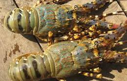 Vũng Tàu: Tôm hùm chết hàng loạt, người dân điêu đứng