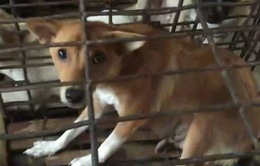 Phú Yên: Táo tợn nạn trộm chó ở làng quê