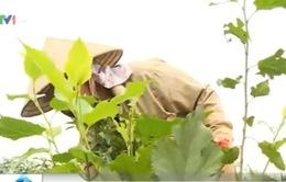 Hà Nội: Làng nghề dâu tằm Lương Phú dần bị xóa sổ