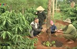 Tây Nguyên: Diện tích trồng hồ tiêu tăng mạnh