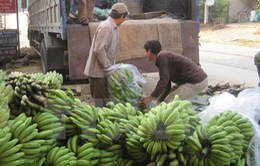 Việt Nam có thể dẫn đầu về xuất khẩu chuối