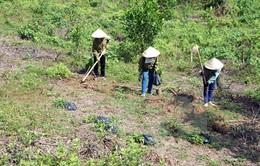 Ninh Thuận trồng rừng bằng giống cây trồng mới