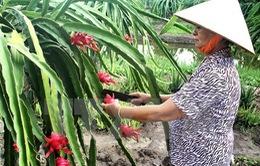 Vĩnh Phúc công bố chứng nhận đăng ký nhãn hiệu Thanh Long ruột đỏ