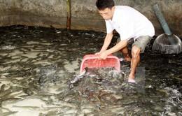 Trà Vinh: Giá cá lóc giảm mạnh