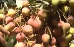 Thu hoạch sớm, người trồng vải thu nhập cao
