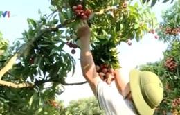 Người trồng vải thiều chủ động thị trường tiêu thụ