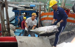 Giá nhiên liệu giảm, ngư dân phấn khởi khai thác xa bờ