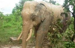 Gia tăng tình trạng voi rừng tấn công voi nhà tại Đăk Lăk